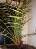 Уход за финиковой пальмой.