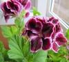 Королева цветов - пеларгония