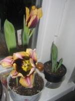 Что делать с луковицами тюльпана после выгонки?