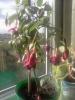 Коричневые пятна на листьях фуксии - первый признак переувлажнения