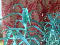 Алоэ как декоративное и лечебное растение