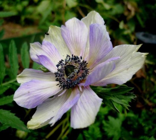 Anemone посадка размножение уход
