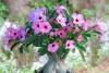 Роза пустынь – прекрасный адениум