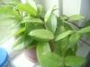 Сажаем лиану в цветочный горшок
