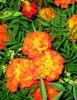 Бархатцы и календула: фото и выращивание на клумбе