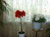 Амариллис - цветение без листьев
