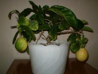 Мой лимон