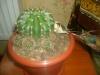Как правильно отсоединить деток кактуса?