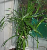 Расти циперус, большой и маленький!