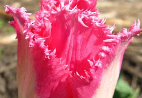Выращивание тюльпанов: посадка и уход