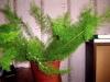 Аспарагус - неприхотливое, полезное и красивое растение