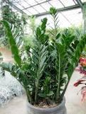 Как выращивать замиокулькас
