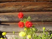 Розы с подоконника в сад.