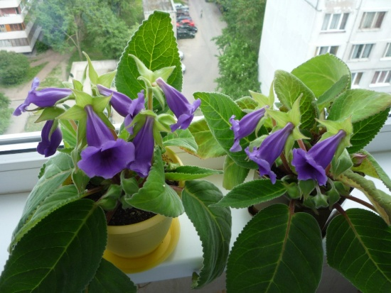 фото цветок калерия