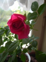 Роза – капризная красавица