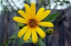 Топинамбур: посадка, выращивание и его фото