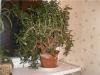 денежное дерево - советы по выращиванию гиганта-красавца