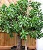 Денежное дерево нужно формировать
