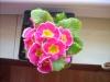 Цветущая примула - чудесный подарок