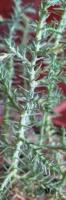 Размножение кипариса семенами