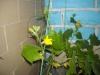 Красавица Орхидея, Пальма, а так же - выращиваем огурцы в домашних условиях.