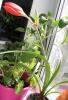 Первое цветение молодого гиппеаструма