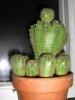 Мои нецветущие кактусы