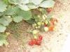 Выращивание земляники: посадка и уход