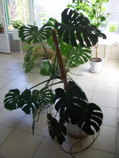 Растения пальмы монстера как раз из