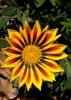 Гацания или газания — выращивание и уход