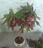 Выращивание Кротона.