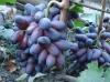 Выращивание и правильный уход за виноградом