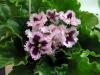 Как размножать фиалку цветоносом?