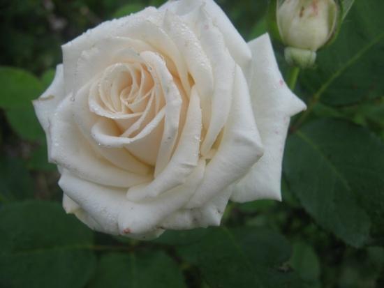 Зимовка роз.