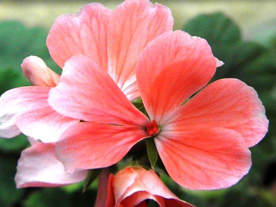 Ретро-сорта пеларгоний и формы цветков
