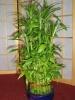 Счастливый бамбук или Драцена Сандера.