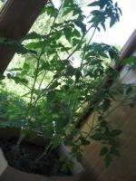 Мини - огород на балконе.