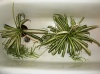 Душевание декоративнолиственных растений