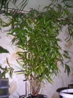 Вечнозеленый аспарагус