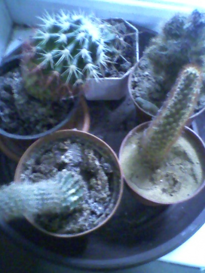 Содержание кактусов