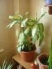 Изменения окраски листьев диффенбахии - естественный процесс
