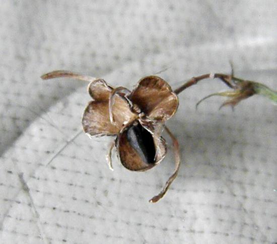 Семена хлорофитума зеленого