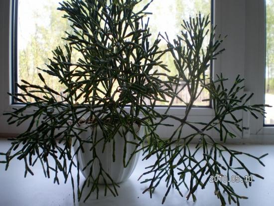 Фото комнатного цветка рипсалис 85