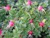 Шиповник на даче: уход и выращивание