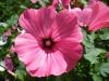 Лаватера: фото, уход, выращивание