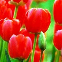 Тюльпан.
