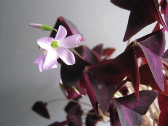 Оксалис :  цветок-баб