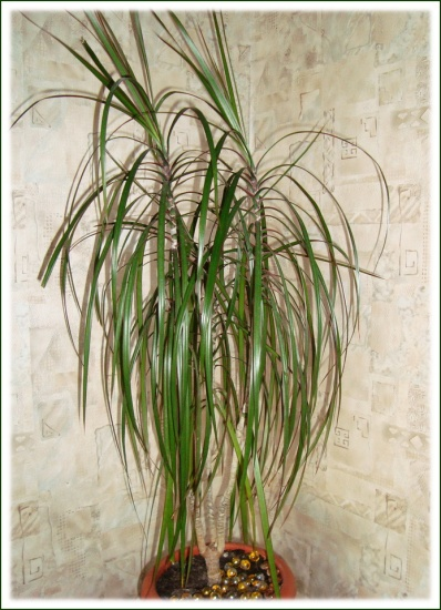 ... !, Драцена - комнатные растения и цветы: tipsplants.ru/plant-blog/26/04/11/komnatnye-palmy-ostorozhno-s-polivom