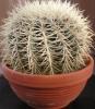 Какие условия нужно создать кактусу, чтобы он зацвел?