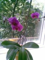 Почему погибает орхидея?